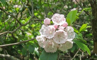 Kalmia_latifolia_Great_Smoky